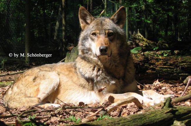 Sibirische Wolfshunde